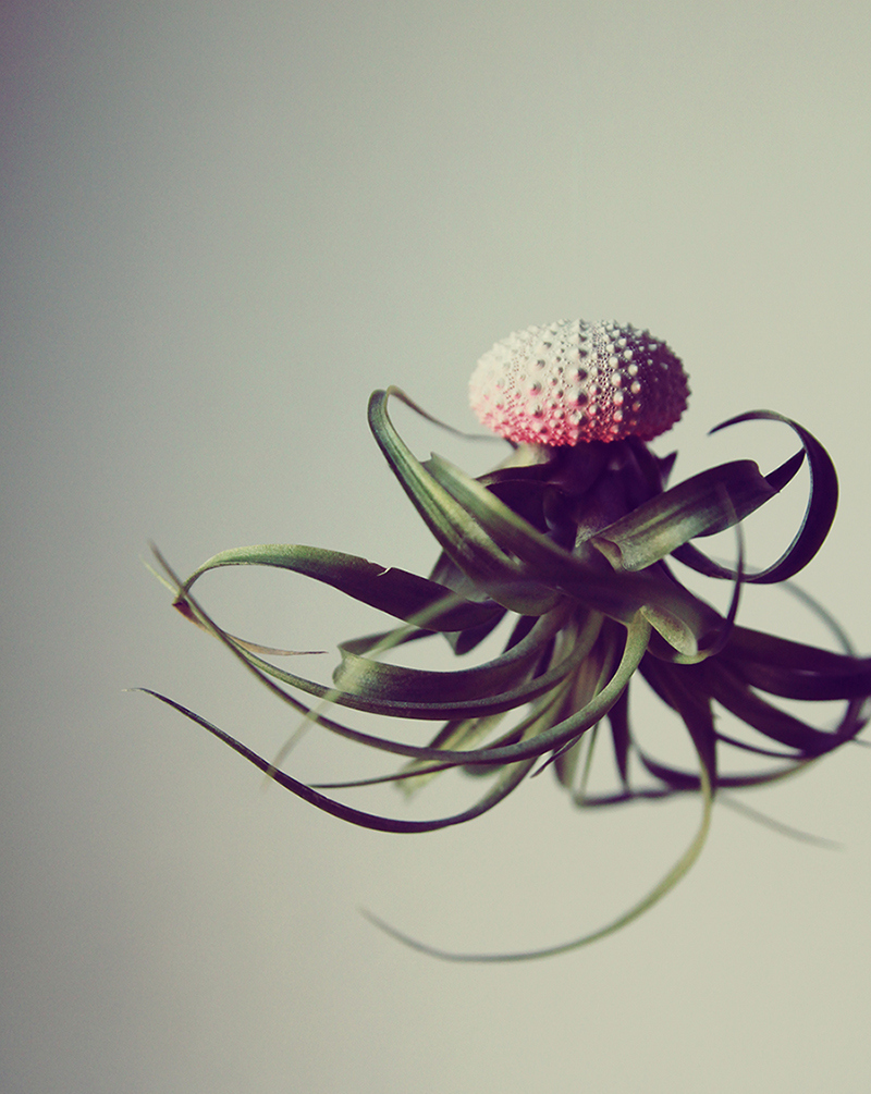airplant_Pink_Ombre1